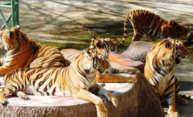 Sri-Racha-Tiger-Zoo