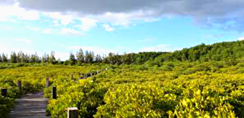 mangrove-forest