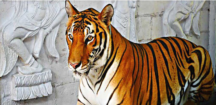 tiger-show